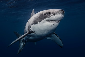 Mexico, Guadalupe Island, Great white shark (Carcharodon carcharias) underwater