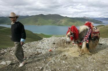KAMBALA PASS, CHINA:  A Tibetan herdsman walks his yak along Kambala Pass, at 4794 meters above sea ...