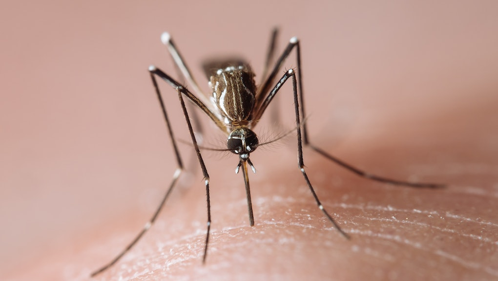 Frontal view of a tropical disease vector mosquito biting human skin and sucking blood, known carrie...