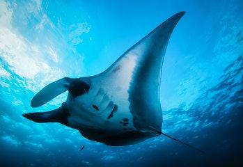 Elegant manta Ray floats under water. Giant ocean Stingray feeds on plankton. Marine life underwater...