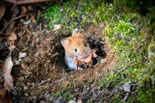Mouse carrying nest material. Close up of Red-backed vole with dry leaves in its mouth. Mouse slips ...