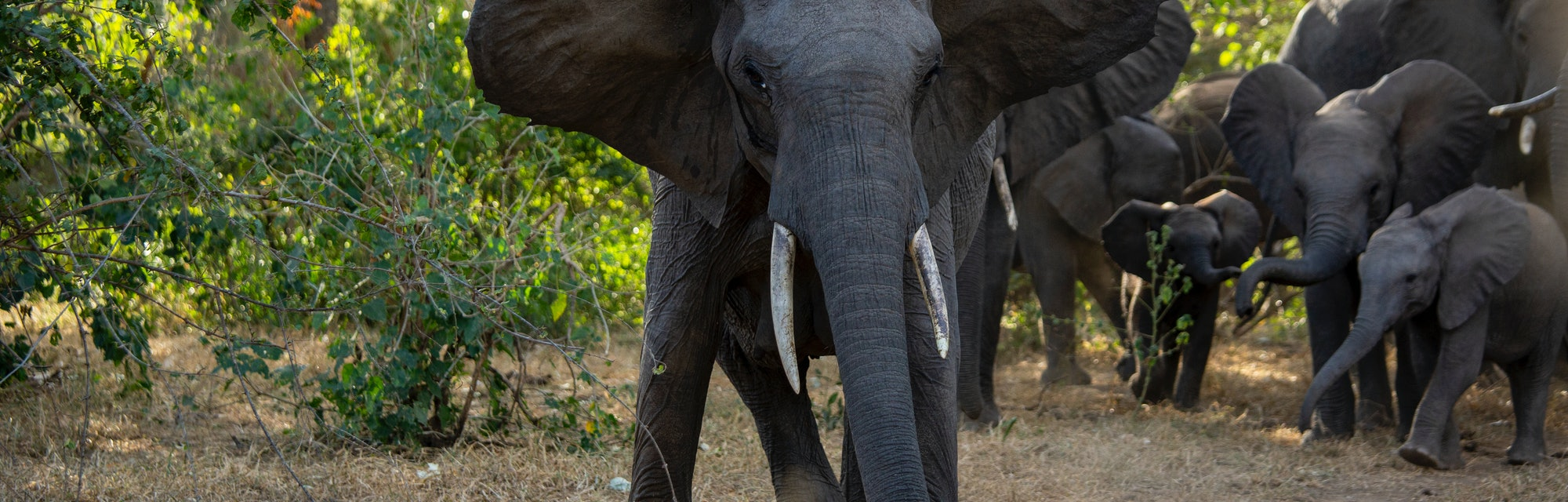 Close-up view of an angry female elephant charging the camera with young calves behind her