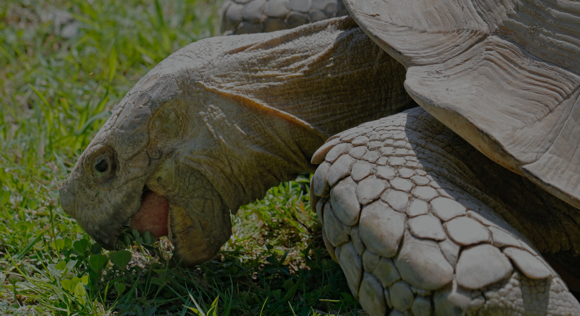 Close up on a furrowed turtle (Centrochelys sulcata) eating grass.