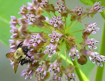 Bumblebee on Milkweed Flowers. (Photo by: Arthur Gurmankin/Education Images/Universal Images Group v...