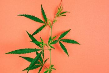 Branch of cannabis plant on orange background