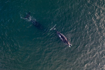 Aerial view of a bowhead whale, Balaena mysticetus, Sea of Okhotsk, eastern Russia.