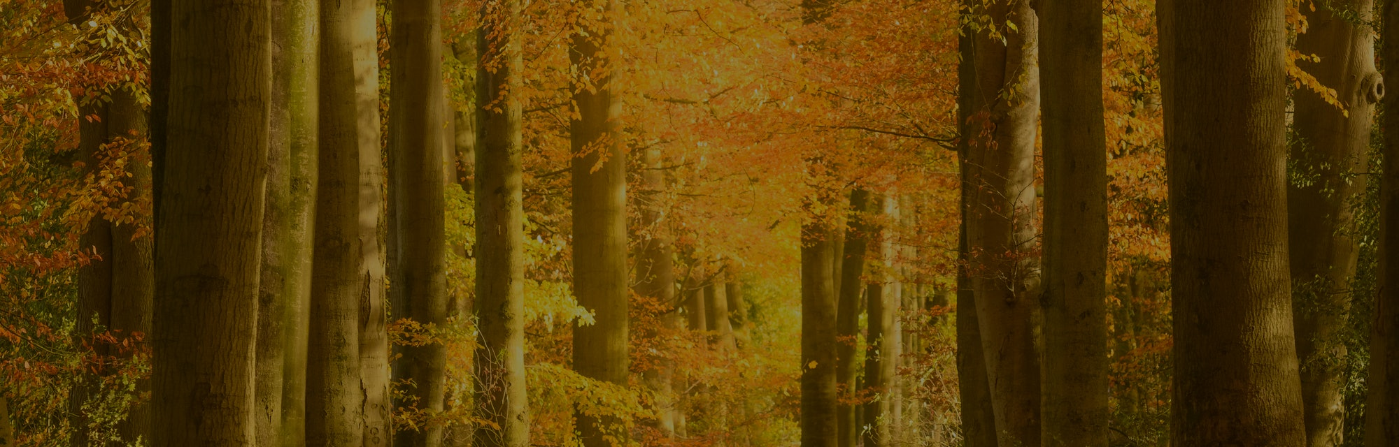Path through a gold colored forest during a beautiful sunny fall day The forest ground of the Speuld...