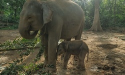 RIAU, INDONESIA - JULY 03, 2020: A male newly born baby Endagered Sumatran elephant plays with her m...