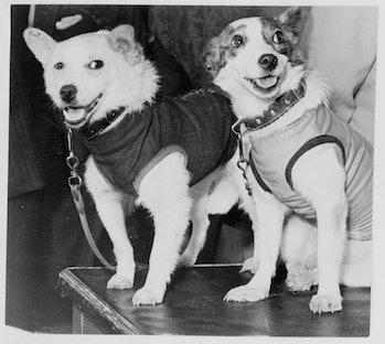 Belka and Strelka, Russian cosmonaut dogs, 1960. Belka and Strelka flew into Earth orbit on board Sp...