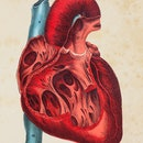 Steel engraving human heart illustration Original edition from my own archives Source : Platen Heilm...