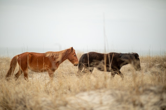 Image of Corolla horses on the Outer Banks