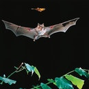 UNSPECIFIED - MARCH 03: Greater Horseshoe Bat (Rhinolophus ferrumequinum), Rinolofidae, while catchi...