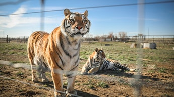 KEENESBURG, CO - APRIL 05: A pair of the 39 tigers rescued in 2017 from Joe Exotic's G.W. Exotic Ani...