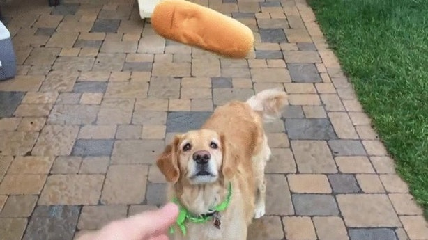 Dog Trying To Catch Food Gif