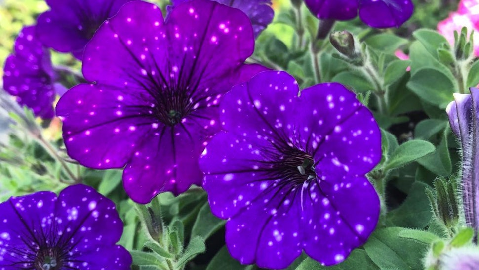 Galaxy Flowers Or Night Sky Petunias Are A Celestial Pinterest Daydream