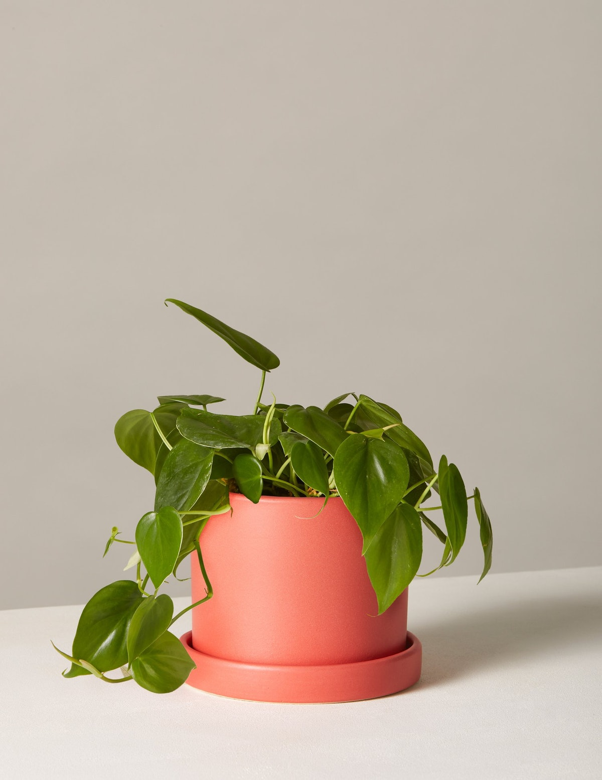 Philodendron In Small Hyde Planter