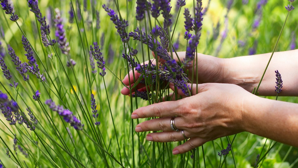 Is Lavender Relaxing Benefits Of The Smell Can Be More Impactful