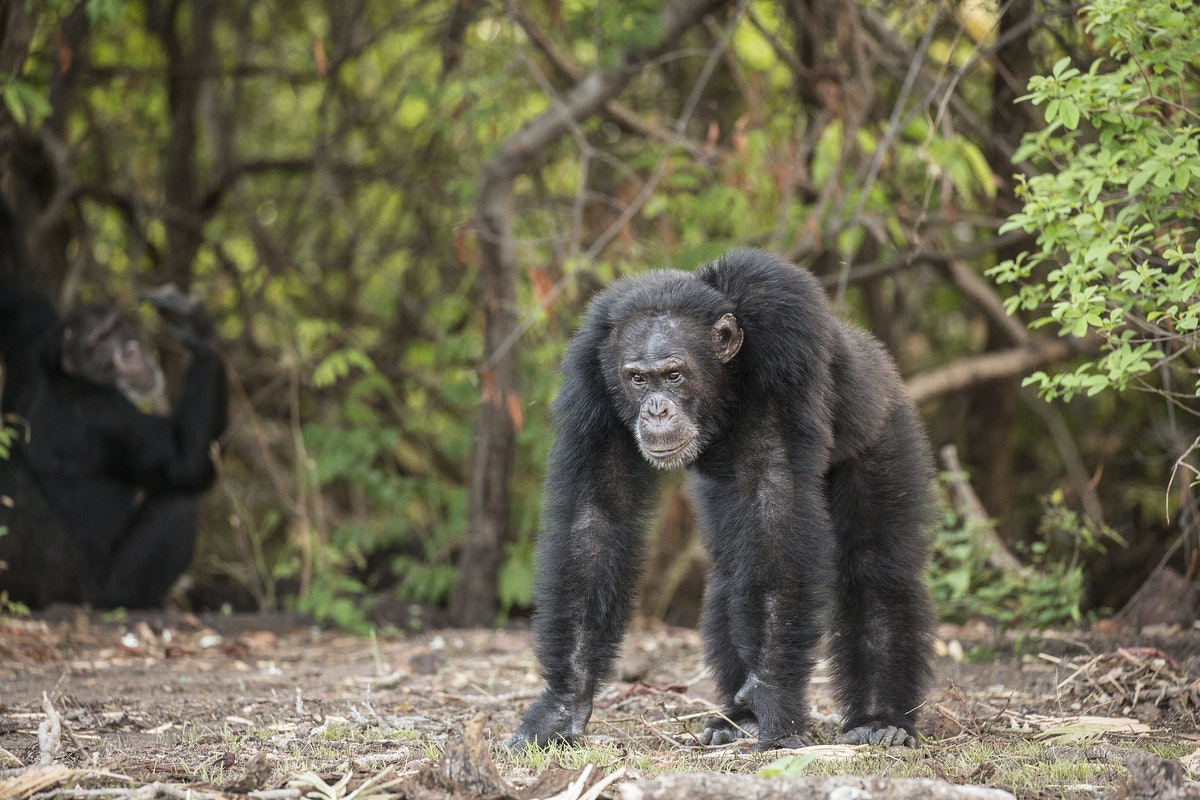 What Happened To Chimpanzee David From 'Dynasties'? David Attenborough's Show Has Viewers Shook