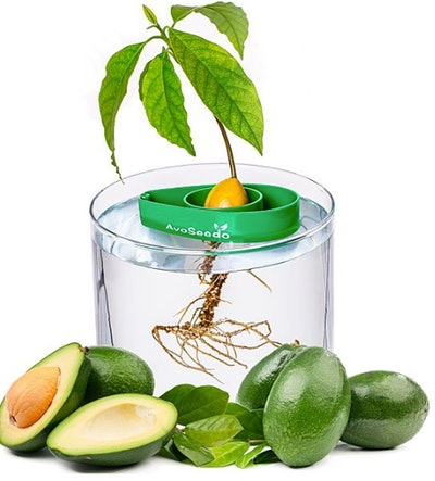 Avocado Tree Starter Kit - Set of 3