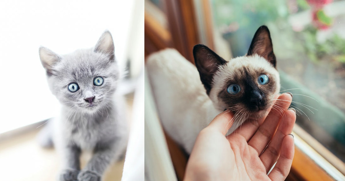 11 Pictures Of Kittens With Blue Eyes That Ll Make You Feel All The Things