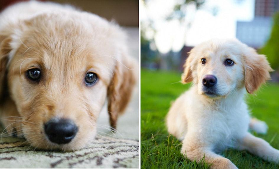 Golden Retriever puppies for adoption In United Arab Emirates