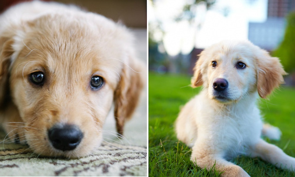 12 Pictures Of Golden Retriever Puppies To Instantly