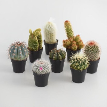 This assortment comes with three different small cacti for you to add to the top of your desk, dresser, or kitchen table. Immerse them in your flower display for a little bit of a southwestern vibe among your apartment garden..