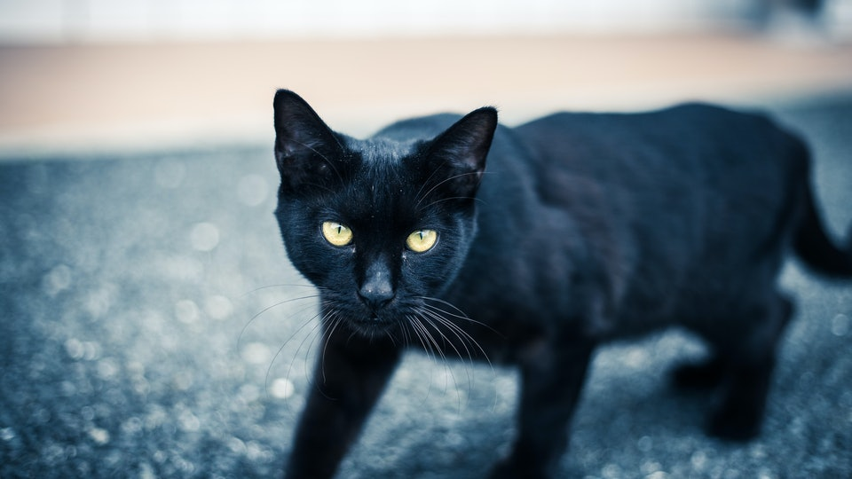 Lucky 8 Auto >> It's Black Cat Appreciation Day, & This Is Why Everyone Should Have A Black Kitty