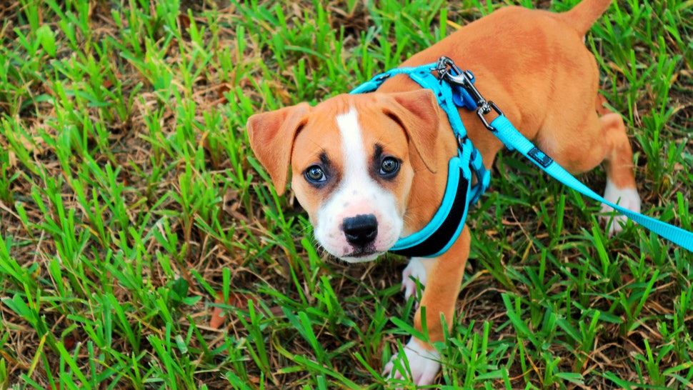 How To Put On A Dog Harness Diagram | The 5 Best Dog Walking Harness