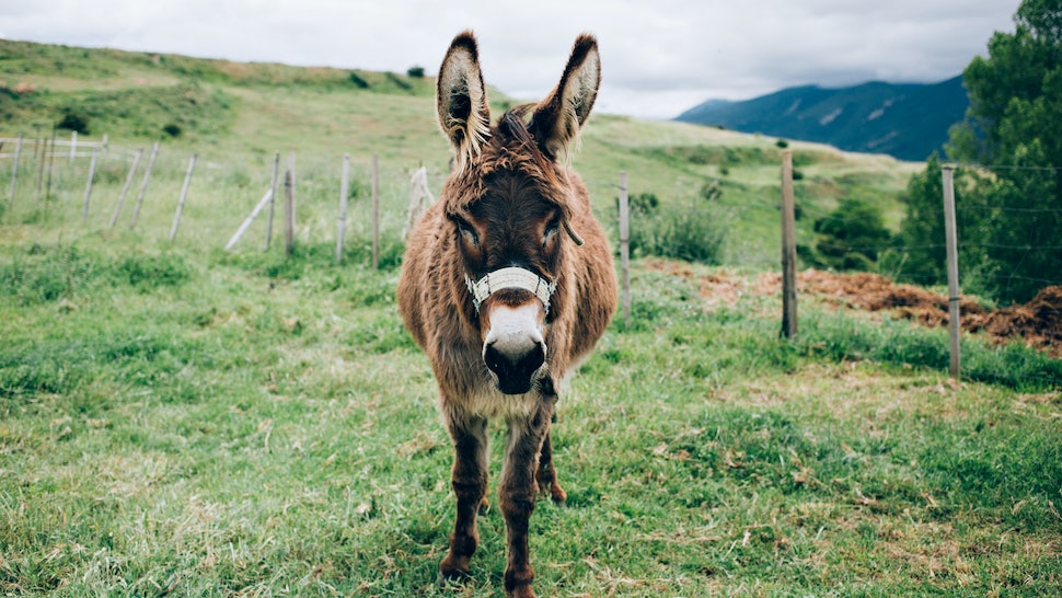 6 Reasons You Need A Miniature Donkey As A Pet Immediately, Not That
