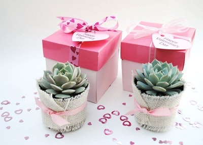 Set of 12 Valentine's Day Gifts-Succulent Garden in a Box