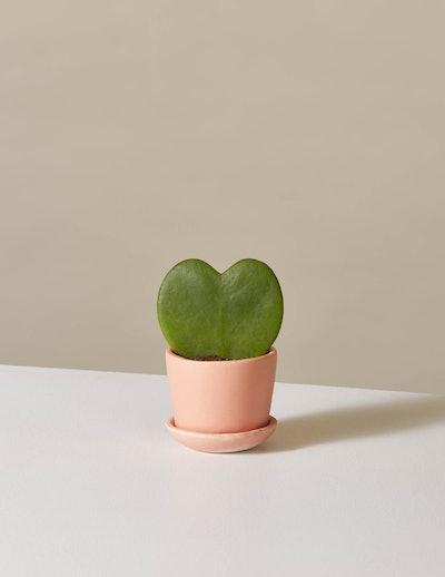 Hoya Heart  In Ezra Planter
