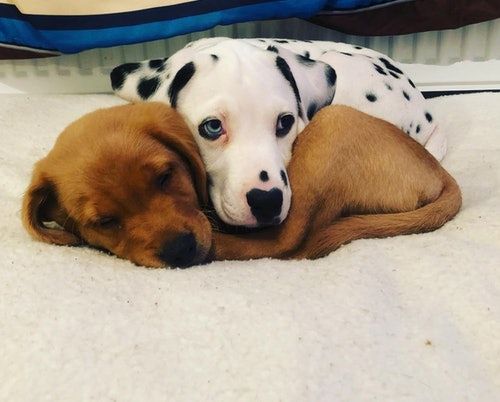 Two cute puppies, a brown Labrador retriever and a Dalmatian, cuddle together