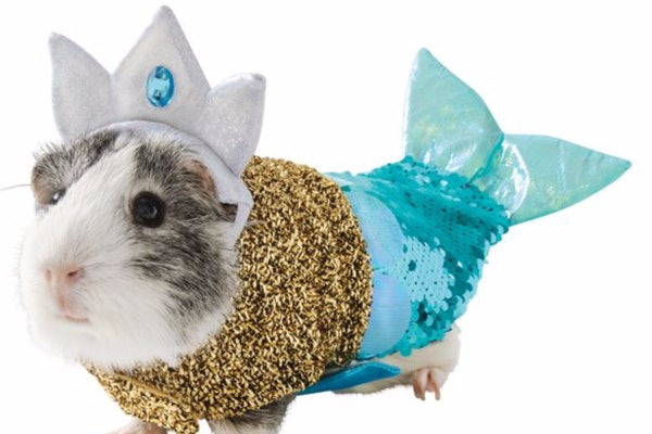 A guinea pig is dressed in a mermaid costume from PetSmart for Halloween.