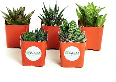 Succulent Variety Pack (5-plants)