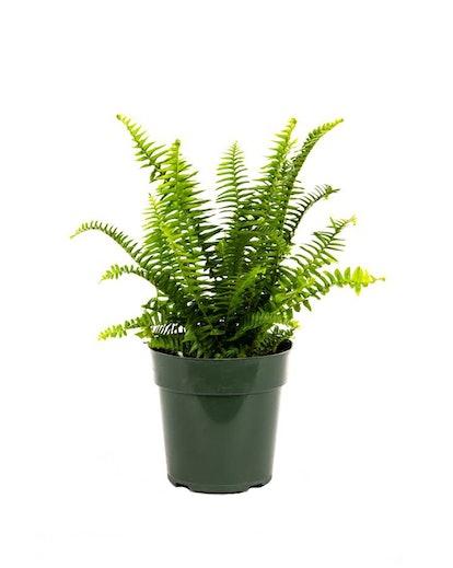 American Plant Exchange Kimberly Queen Fern