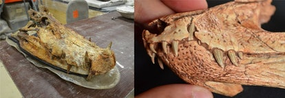 Left, a big Kaprosuchus skull in the paleontological collection at the University of Chicago. Right,...
