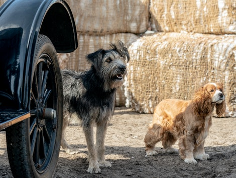Monte and Rose, the dog stars of Lady and the Tramp