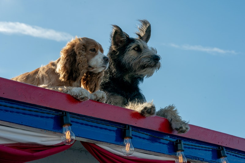 The dog stars of the Disney+ film Lady and the Tramp