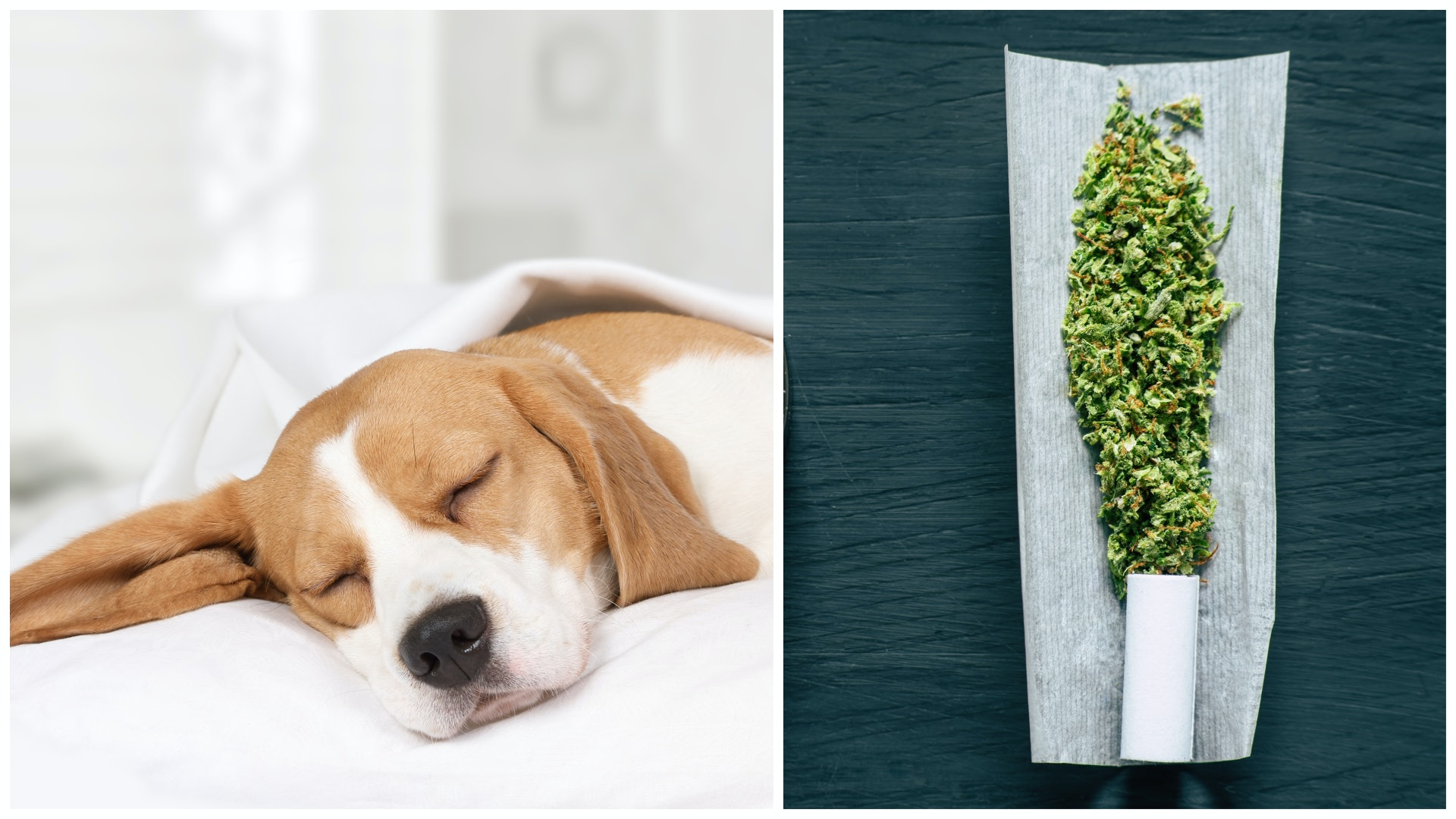 Your Dog Ate Weed By Accident Now What