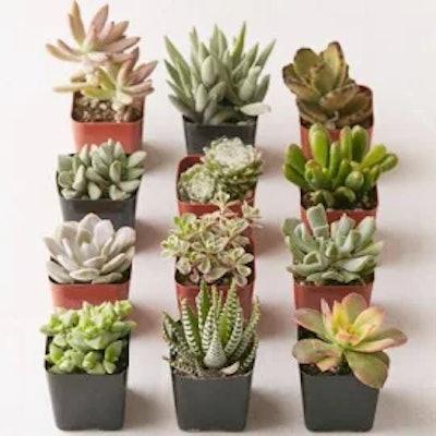 "2"" Live Assorted Succulents - Set of 12"