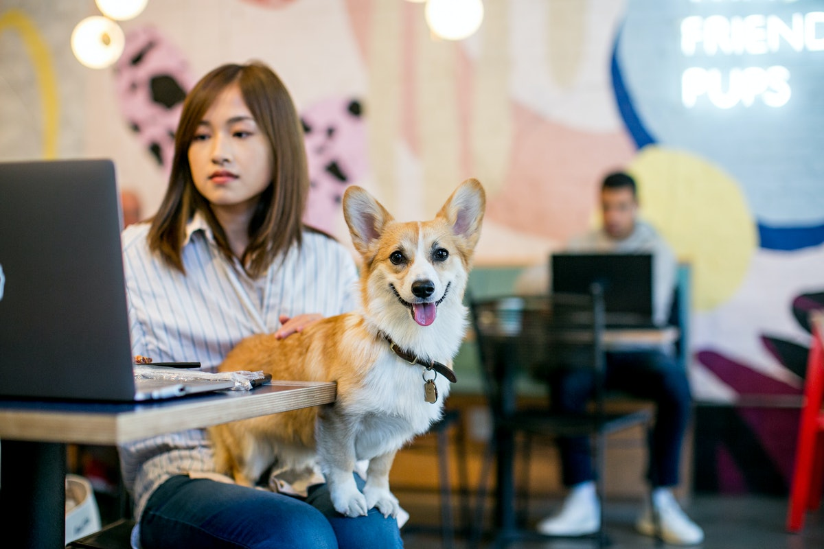 A corgi sits on a woman's lap in a dog-friendly brunch spot in NYC, while she types on her laptop.