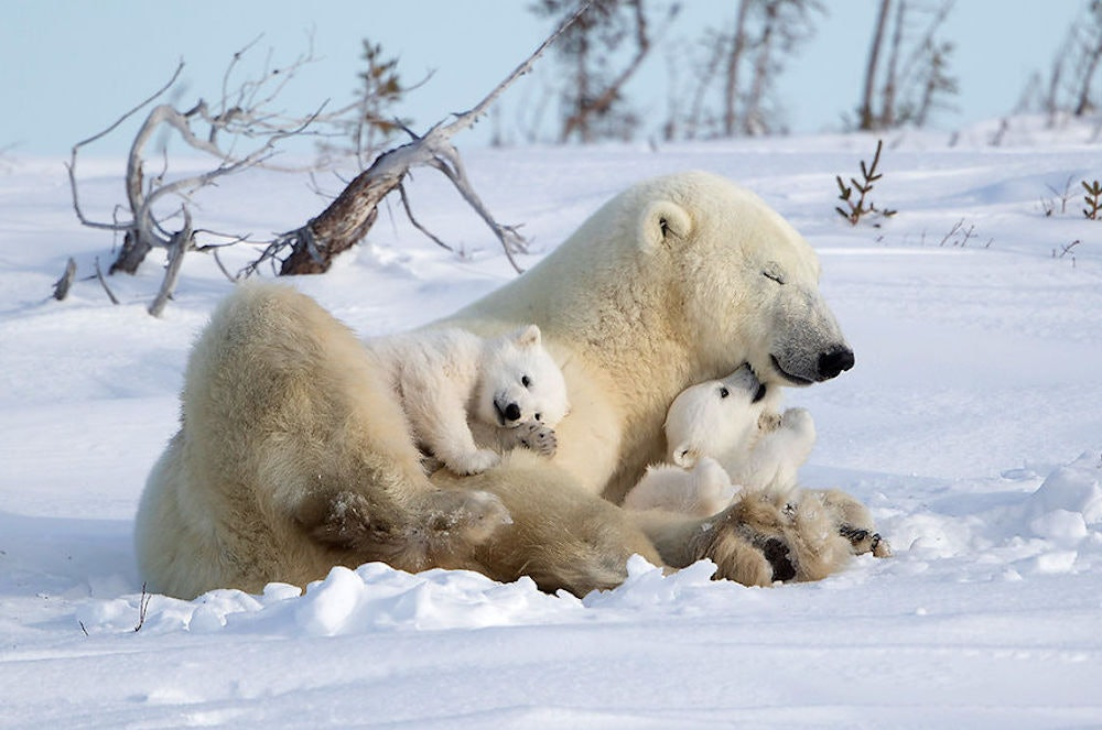 Gallery: David Hemmings's Polar Bears
