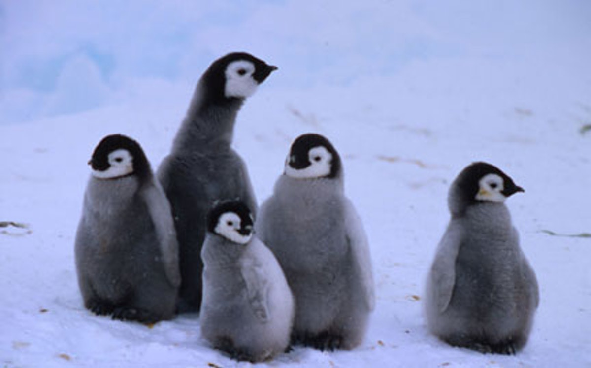 Emperor Penguin Chick Adoption Kit