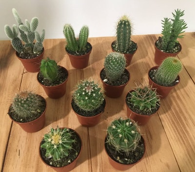 "Assorted Cactus in 2"" Pots - Live Cacti - Guest Favors Gift, Garden, Wedding"
