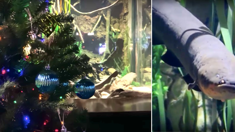 The electric eel powering a Christmas tree put up in a Tennessee Aquarium is sure to be your kids new holiday hero.