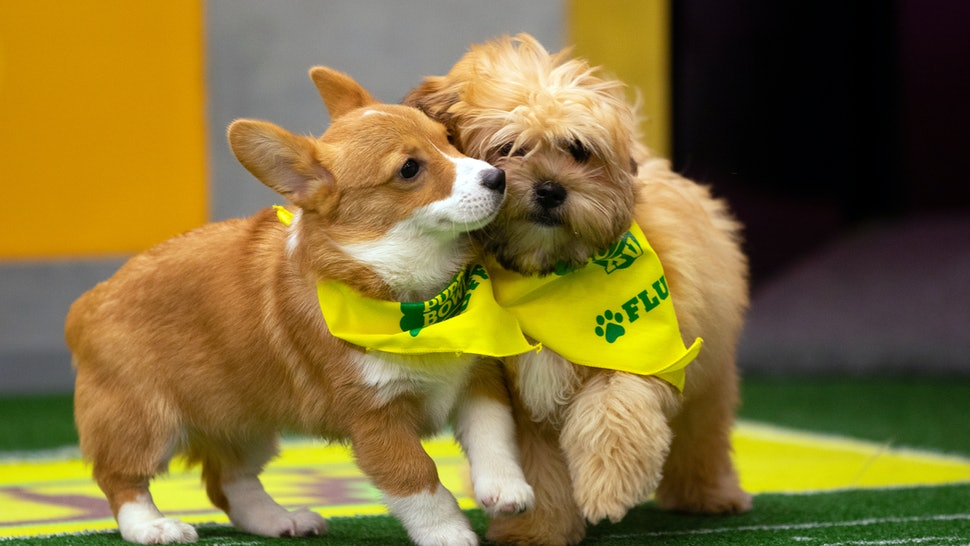 How To Adopt The 2019 Puppy Bowl Puppies, Because These ... - photo#11