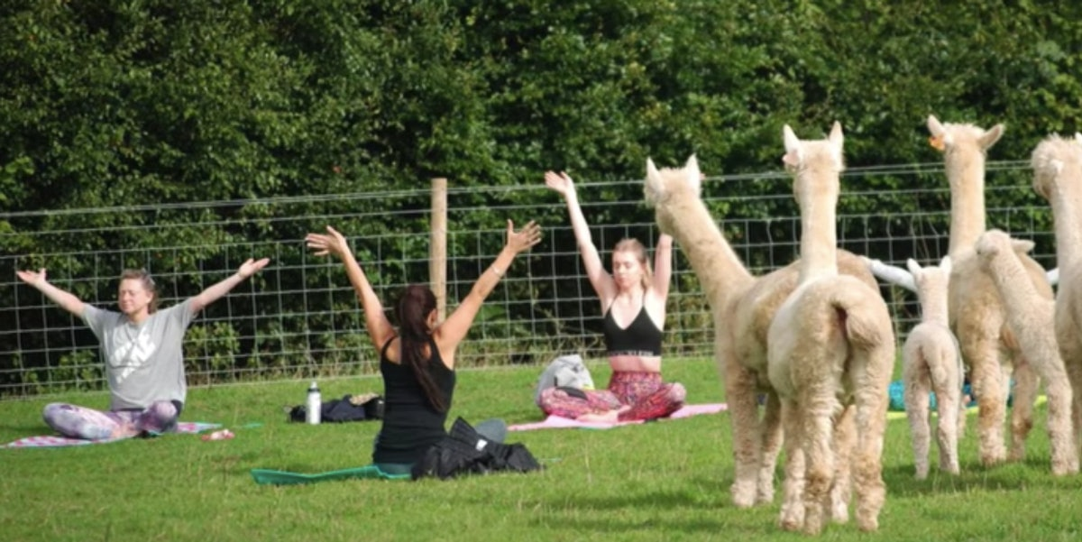 Rosebud Ranch's Alpaca Yoga In England Is A Fun Way To Find Inner Peace