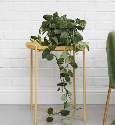 Silvy Satin Pathos Plant