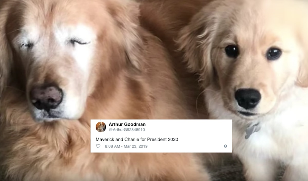 The Tweets About A Golden Retriever's Seeing Eye Dog Are Giving So Much Love To Both Pups
